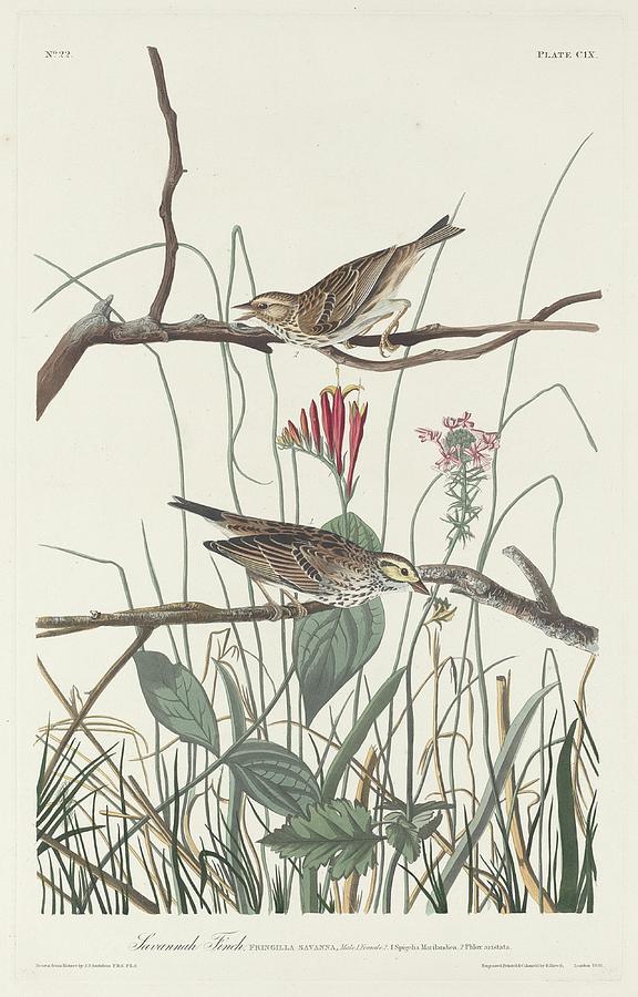 Audubon Drawing - Savannah Finch by Dreyer Wildlife Print Collections