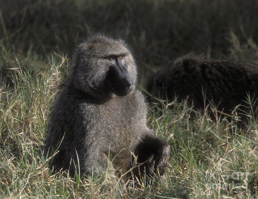 Baboon Photograph - Savannah Olive Baboon  by Sandra Bronstein