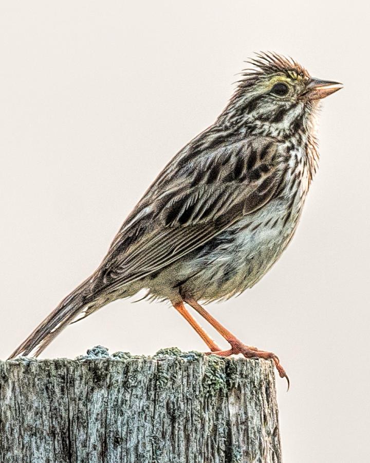 Savannah Sparrow by Glenn Springer