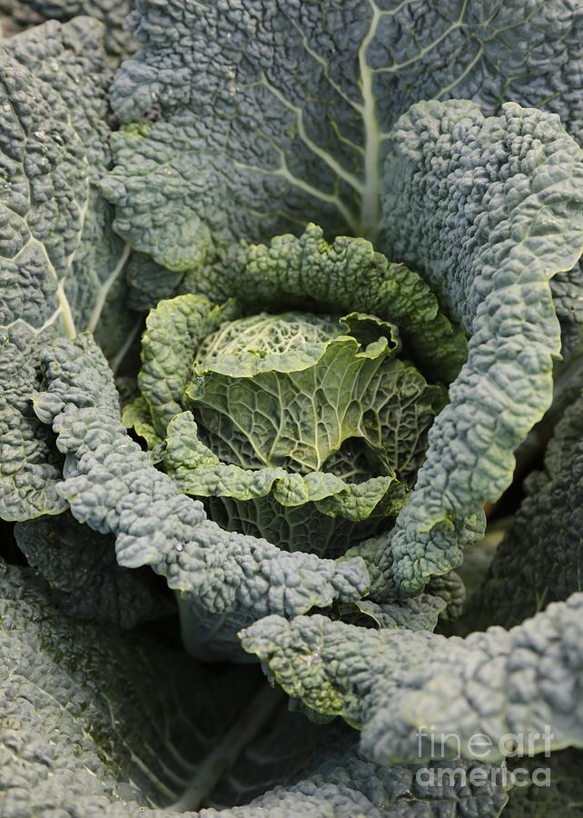 Savoy Cabbage Photograph - Savoy Cabbage In The Vegetable Garden by Carol Groenen