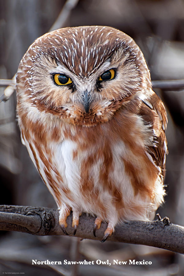 Saw-Whet Owl by Britt Runyon