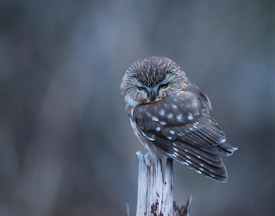 Saw-whet Owl by Ian Johnson