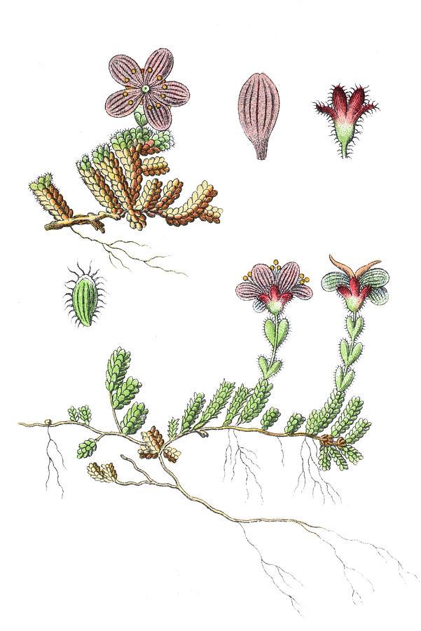 Saxifraga Oppositifolia, The Purple Saxifrage Or Purple ...  Purple Saxifrage Drawing