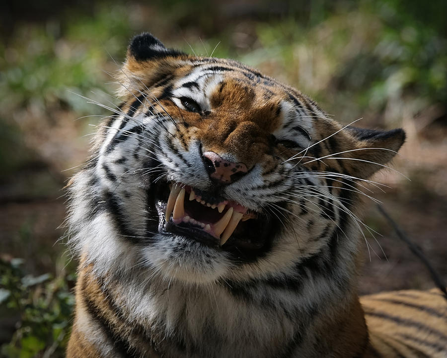 Tiger Photograph - Say Cheese by Ernie Echols