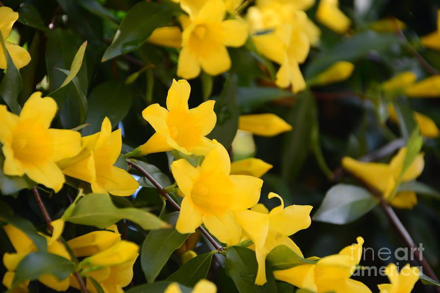 Sc Yellow Jessamine 2 Georgia Photograph By Adrian Deleon
