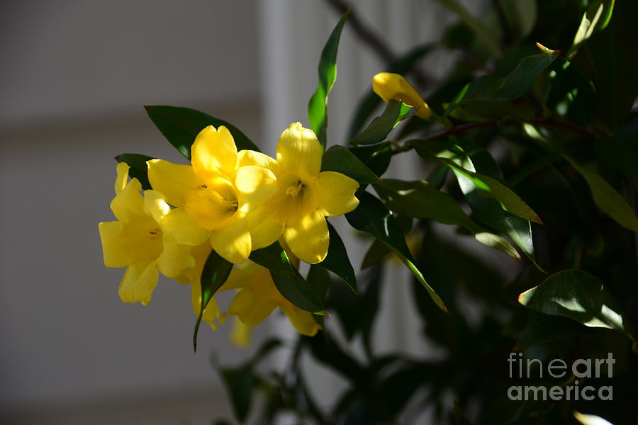 Sc Yellow Jessamine State Flower Georgia Photograph By Adrian