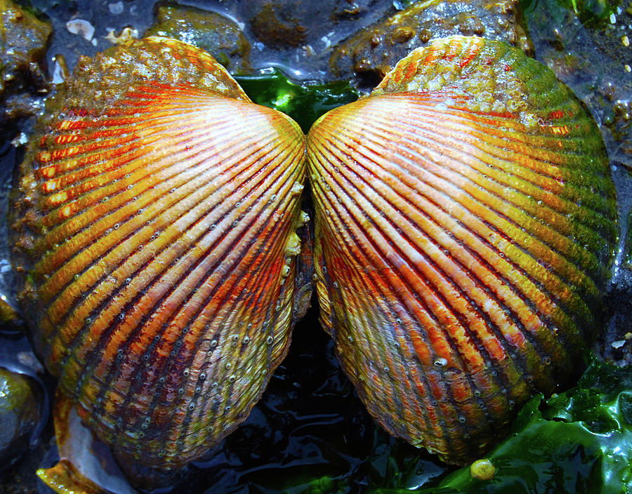 Shell Photograph - Scallop - Close Up by Brian OKelly