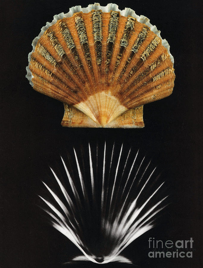 X Ray Photograph - Scallop Shell X-ray by Photo Researchers