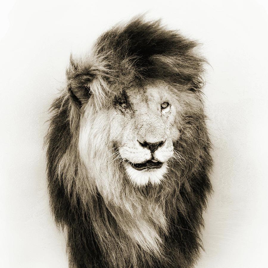 Scar Lion Closeup Square Sepia Photograph