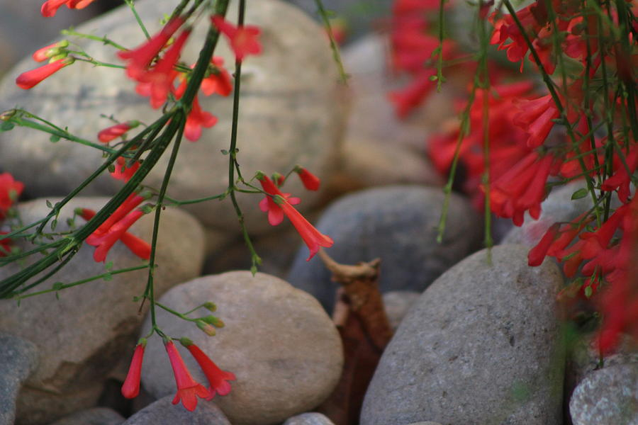 Scarlet Red Photograph - Scarlet Bugler Blossoms on Rocks by Colleen Cornelius