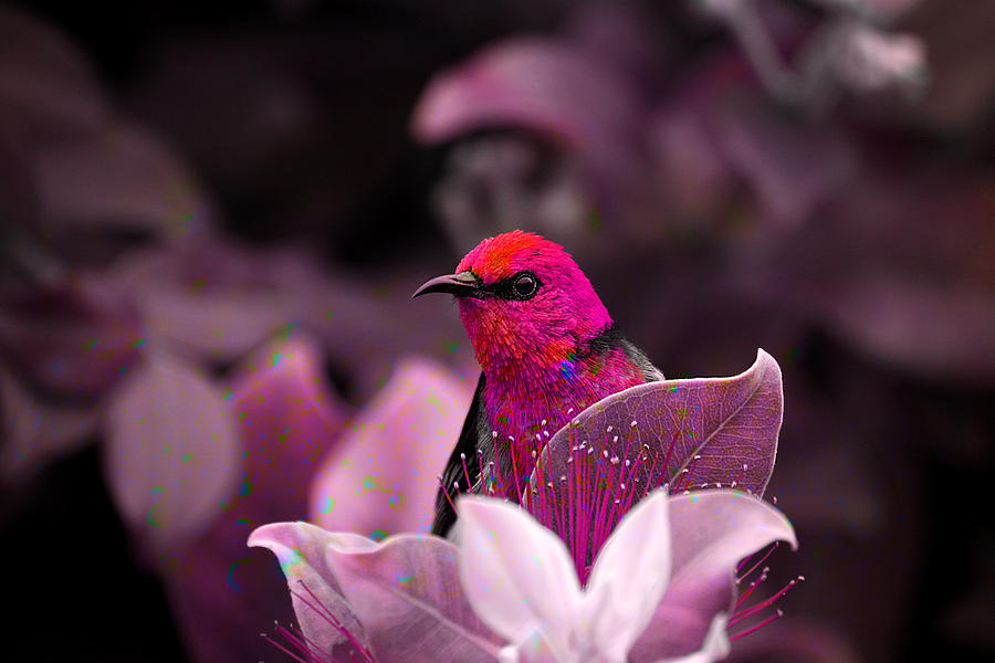 Feather Photograph - Scarlet Honeyeater 01 by Ericamaxine Price
