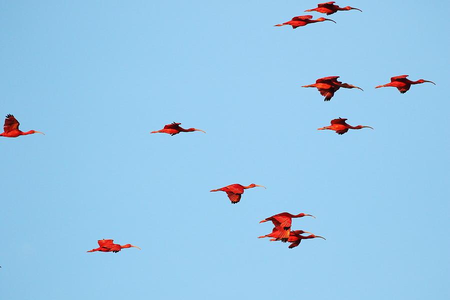 Scarlet Ibis at Caroni Swamp by Steve Wolfe