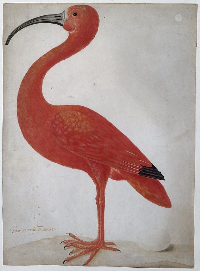 Maria Sibylla Merian Painting - Scarlet Ibis with an Egg, Maria Sibylla Merian, 1699 - 1700 by Maria Sibylla Merian