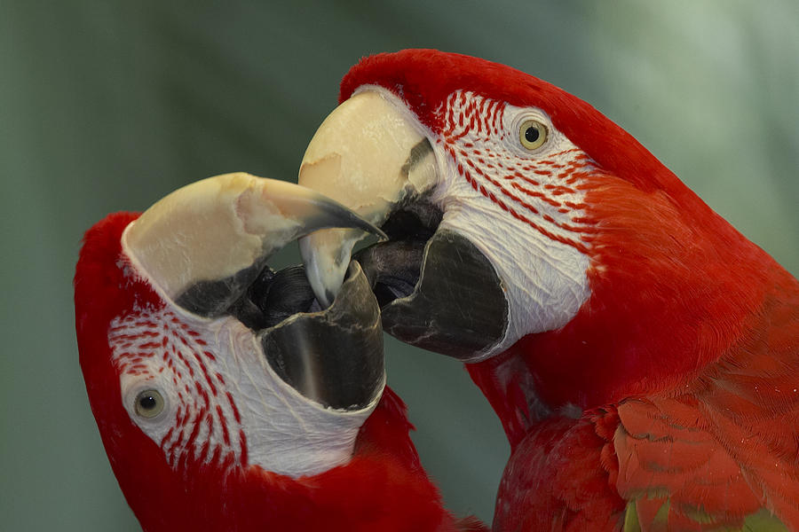 Mp Photograph - Scarlet Macaw Ara Macao Pair Kissing by Zssd
