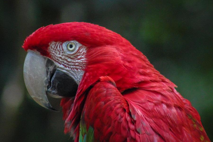 Ara Photograph - Scarlet Macaw by Fabio Giannini