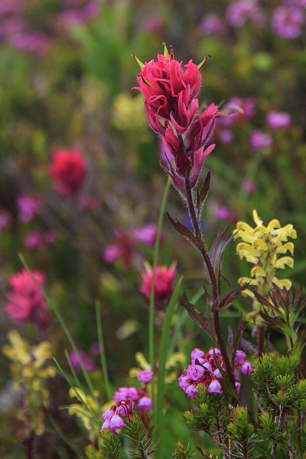 Scarlet Paintbrush by David Chandler