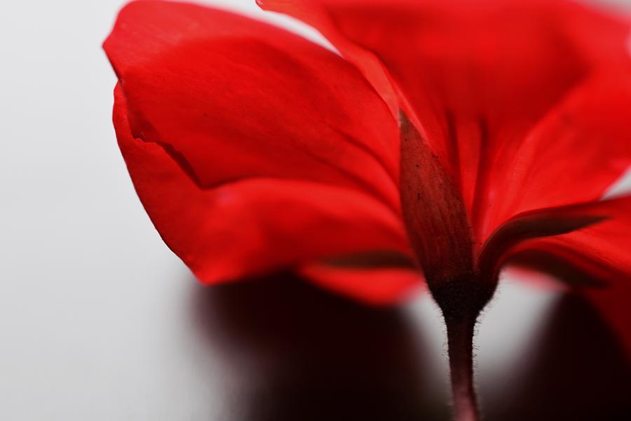 Scarlet Petals Photograph