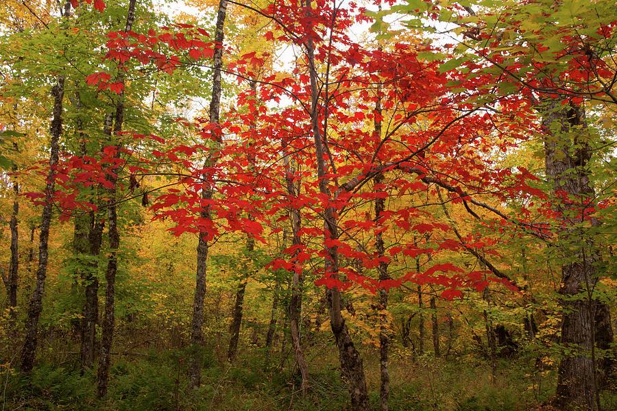 Autumn Photograph - Scarlet Rebel #2 by Irwin Barrett