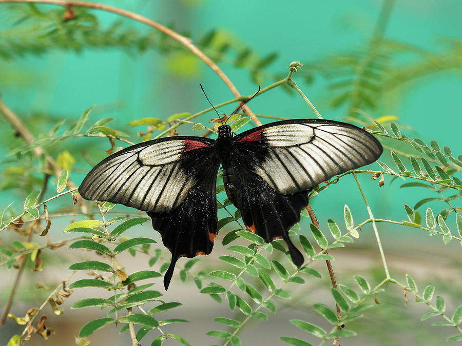 Scarlet Swallowtail Butterfly -2 by Paul Gulliver