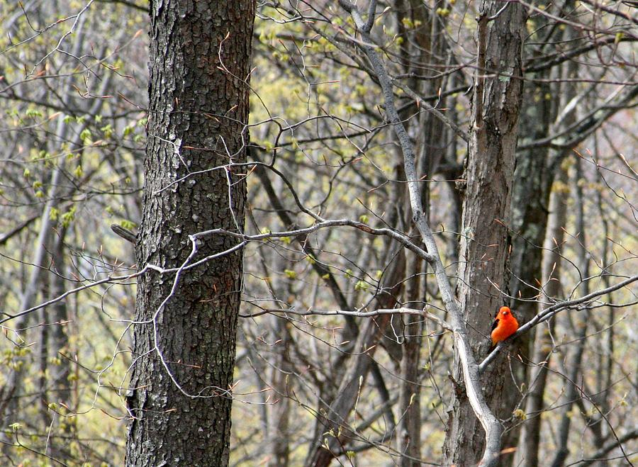 Scarlet Tanager Photograph - Scarlet Tanager Male Facing by Donald Lively