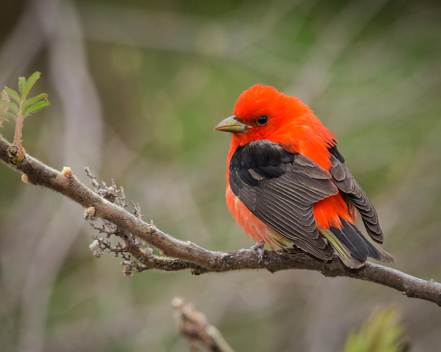 Red Photograph - Scarlet Tanager On Branch by Kimberly Kotzian