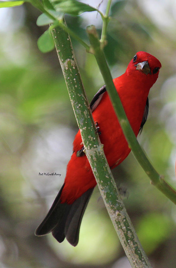 Birds Photograph - Scarlet Tanager by Pat McGrath Avery