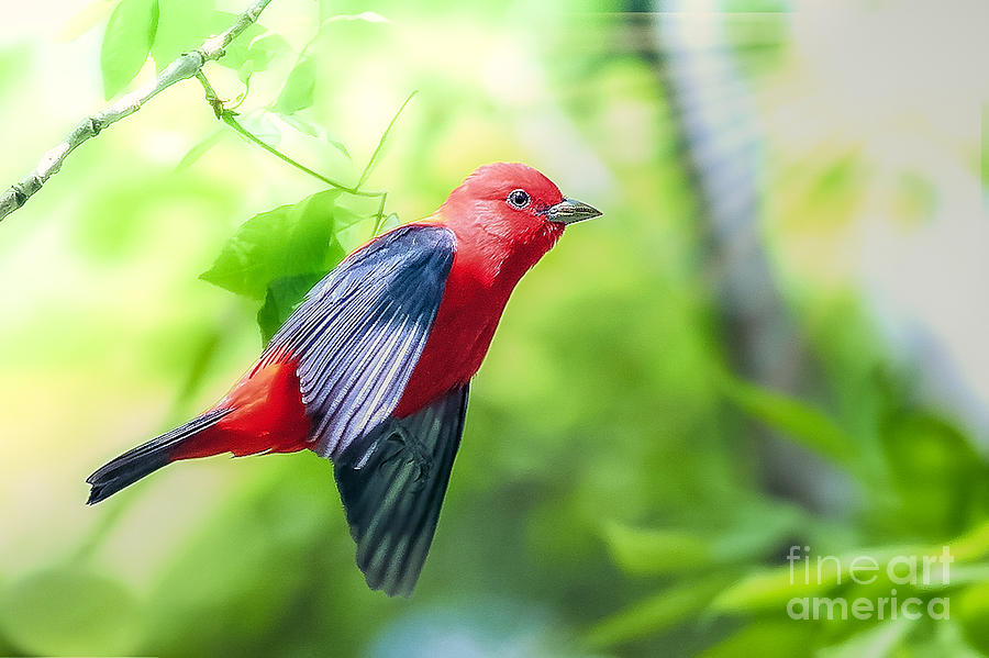 Scarlet Tanger by Peggy Franz