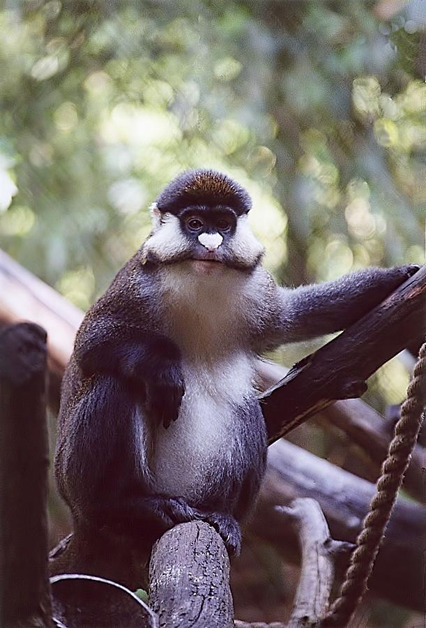 Animals Photograph - Schmidts Guenon by Jan Amiss Photography