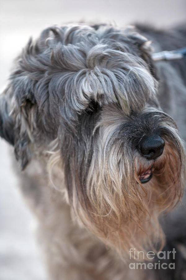 Schnauzer Dog Portrait Photograph