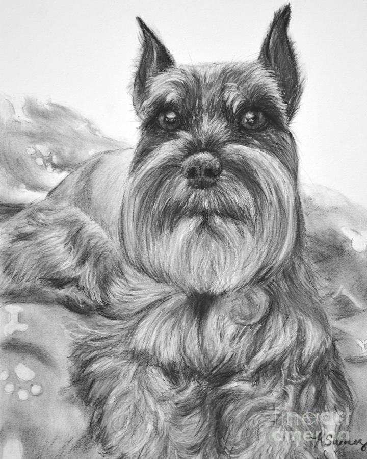Schnauzer Drawing Bailey by Kate Sumners