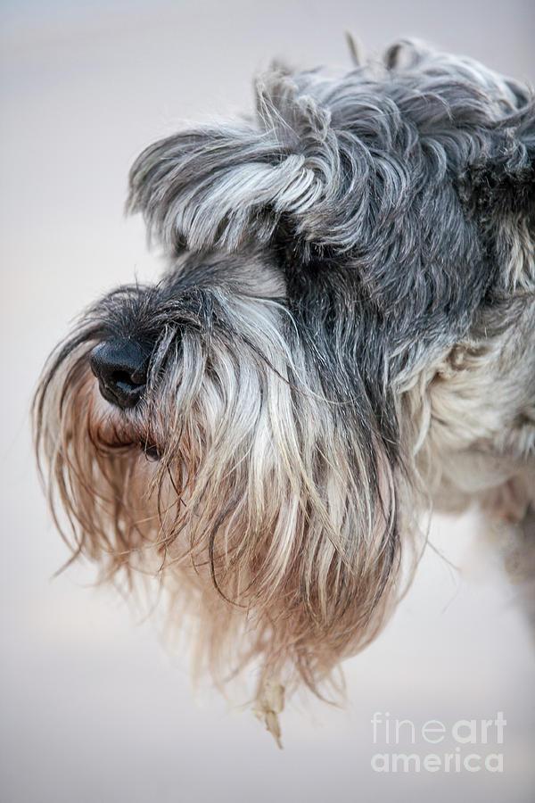 Schnauzer Pet Face Photograph