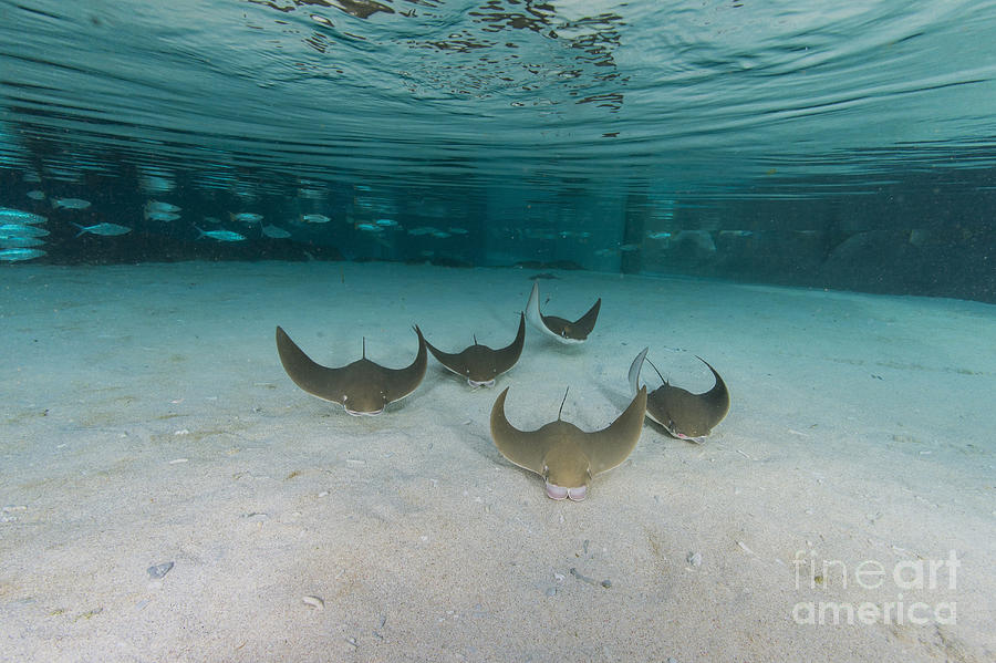 School Of Cownose Ray In Formation Photograph