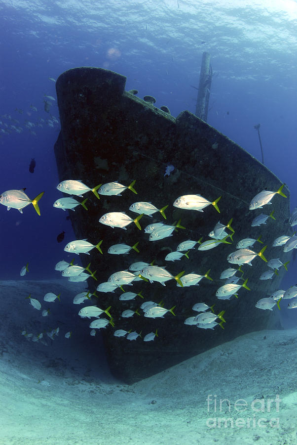 School Of Horse-eye Jack Fish Swmming Photograph