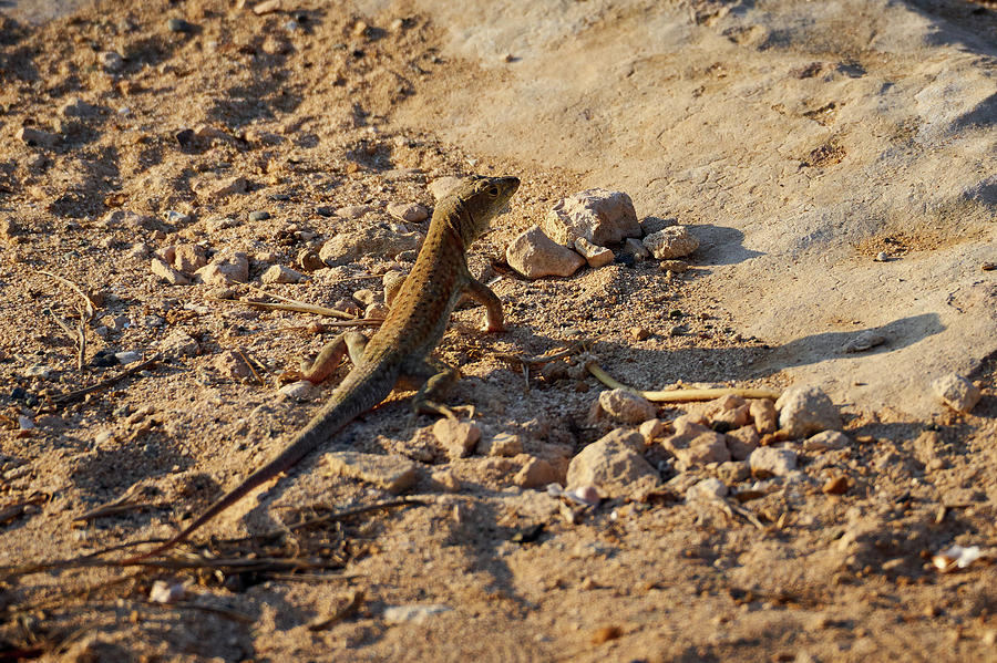 Agia Napa Photograph - Schreibers Fringe-fingered Lizard by Jouko Lehto
