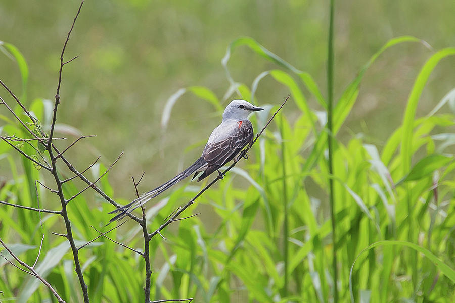 Scissor-tailed Flycatcher 3 Photograph