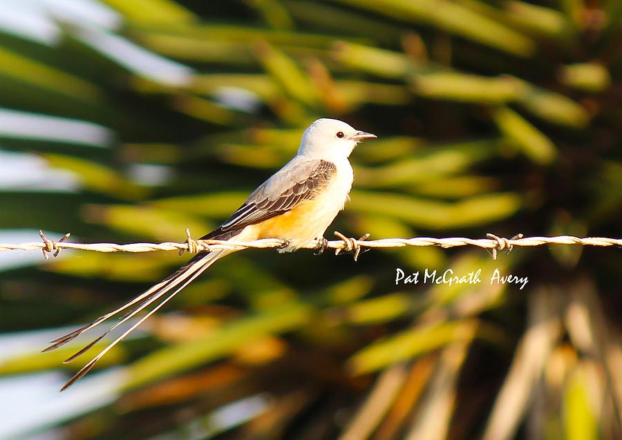 Scissor-tailed Flycatcher Photograph - Scissor-tailed Flycatcher by Pat McGrath Avery