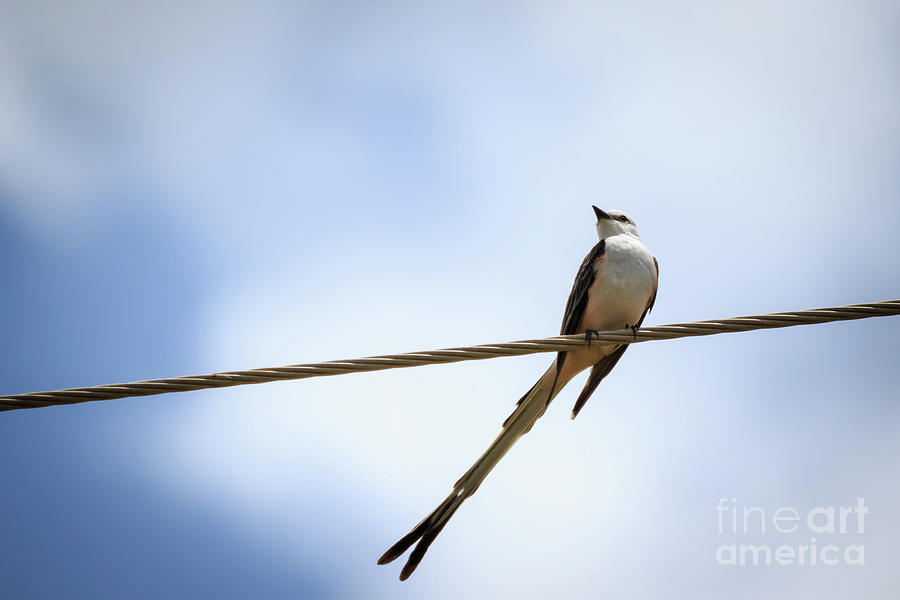 Scissortail On A Wire Photograph