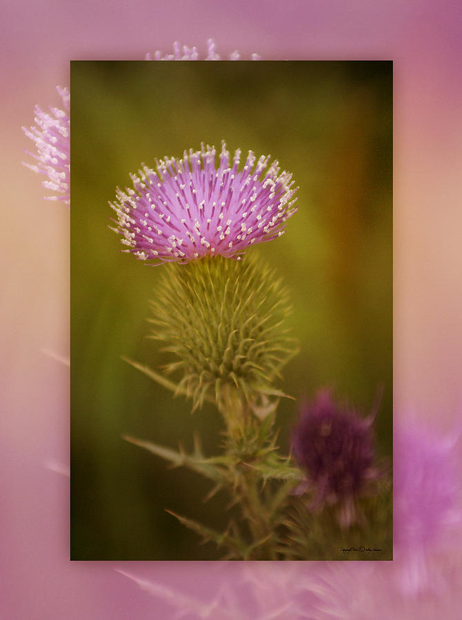 Floral Photograph - Scotch Thistle by Holly Kempe