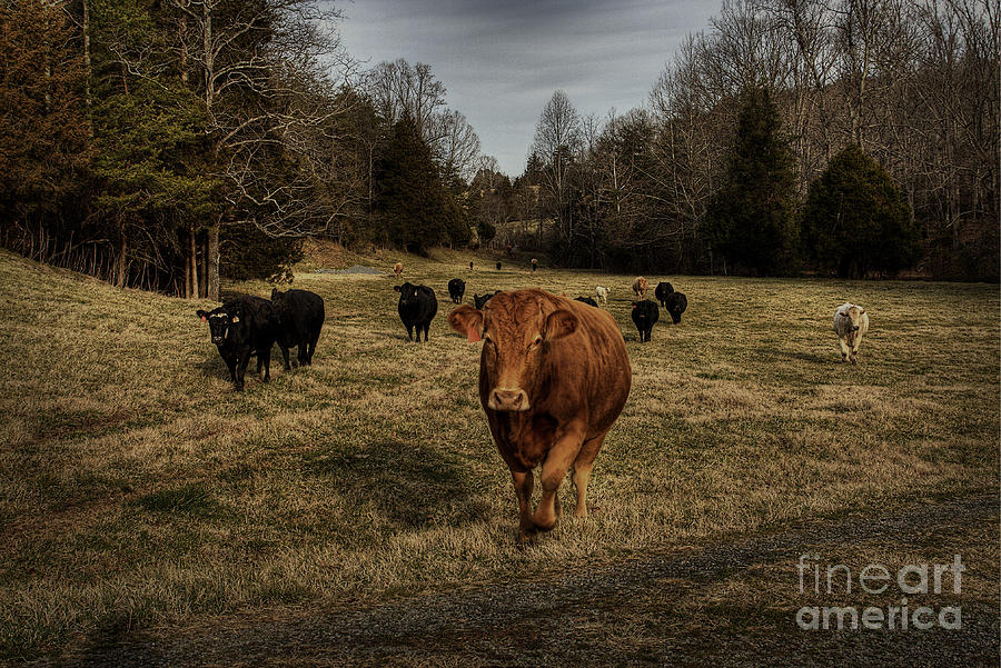 Scotopic Photograph - Scotopic Vision 9 - Cows Come Home by Pete Hellmann
