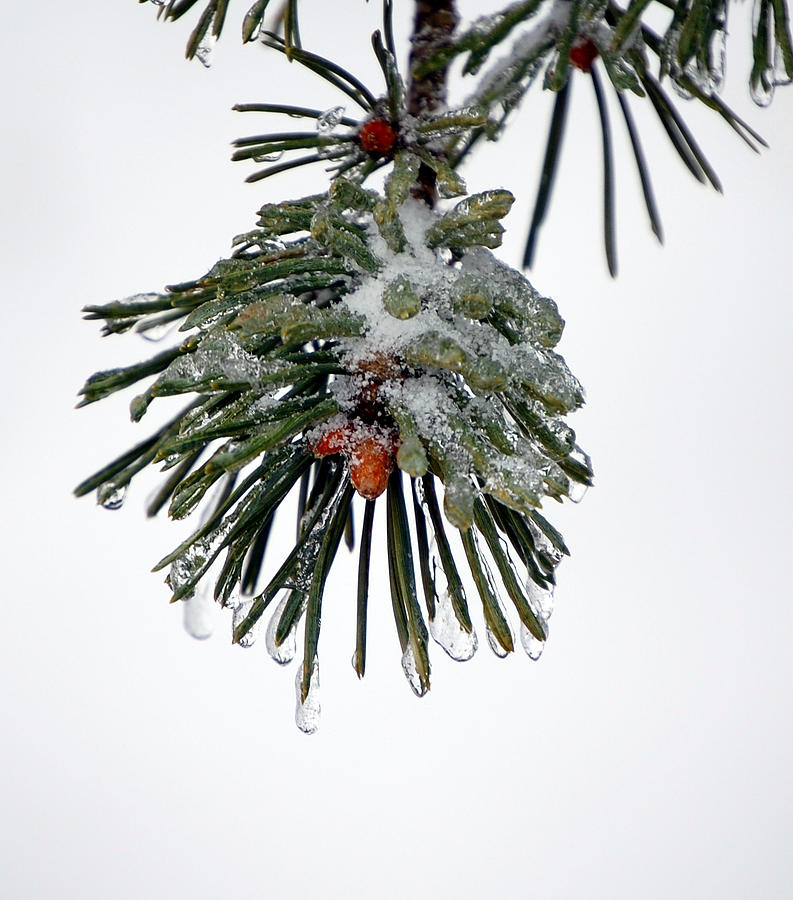 Winter Photograph - Scots Pine and Ice by Lisa Kane