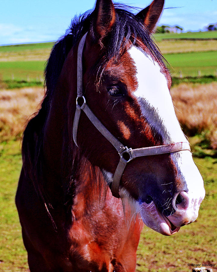 Animals Photograph - Scottish Clydesdale  by Roger Wedegis