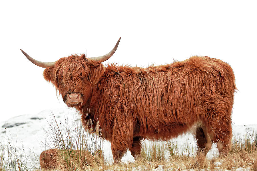 Highland Cow Photograph - Scottish Highland Cow by Grant Glendinning
