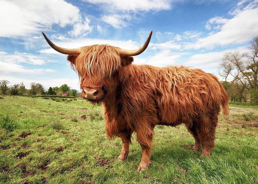 Highland Cow Photograph - Scottish Highland Cow - Trossachs by Grant Glendinning