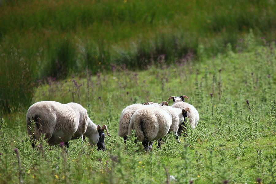 Sheep Photograph - Scottish Sheep by Francesco Scali