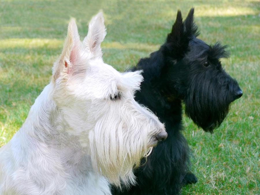Scottish Terrier Photograph - Scottish Terrier Dogs by Jennie Marie Schell