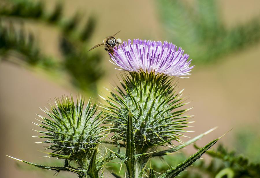 Bee Photograph - Scottish Thistle by Todd Scheetz