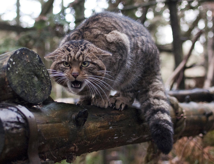Highlands Photograph - Scottish Wildcat by Sue Arber