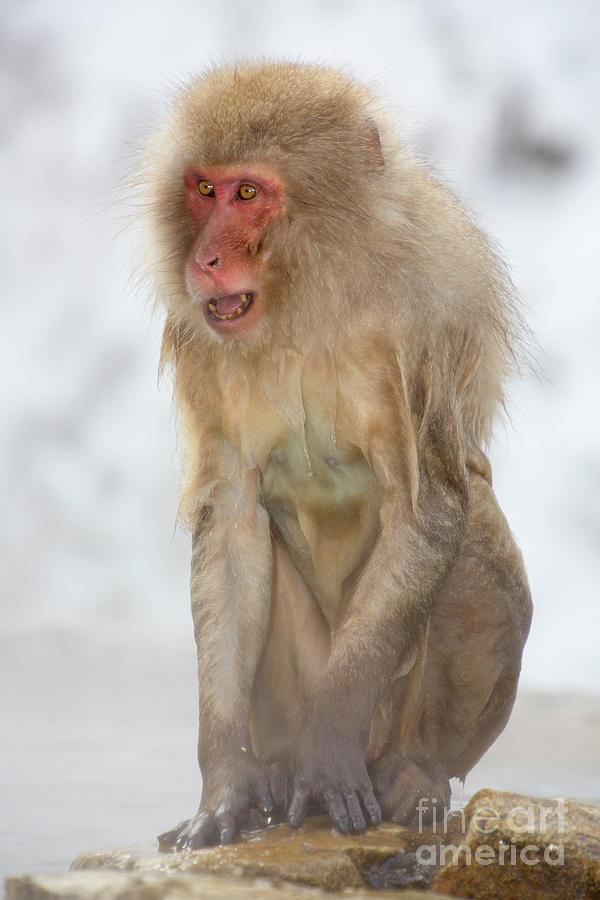 Snow Monkeys Photograph - Screech by Leigh Lofgren