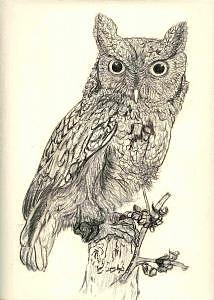 Owls Drawing - Screech Owl by Debra Abell