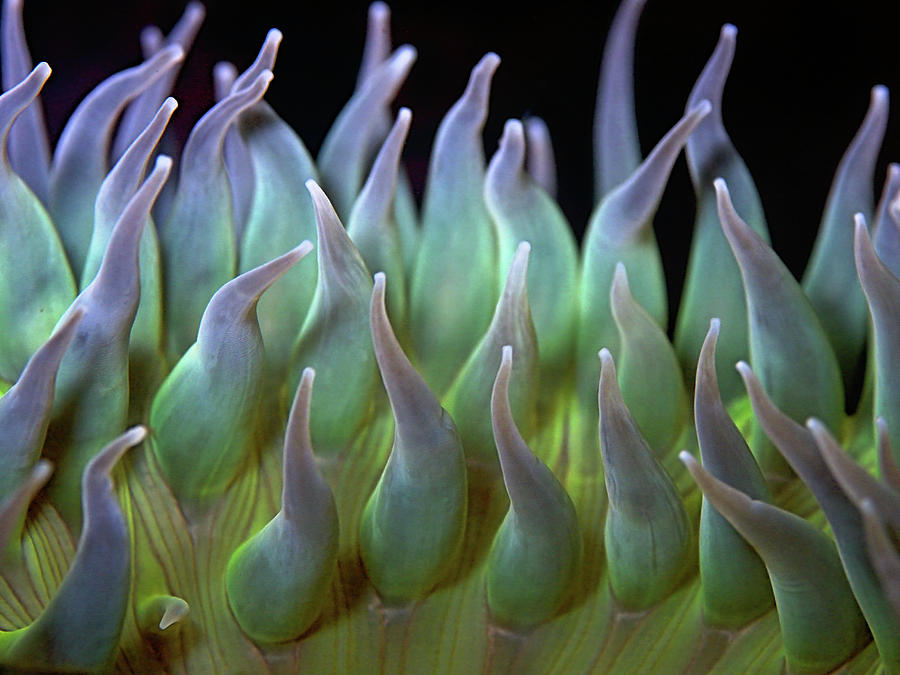 Horizontal Photograph - Sea Anemone by by Frank Chen